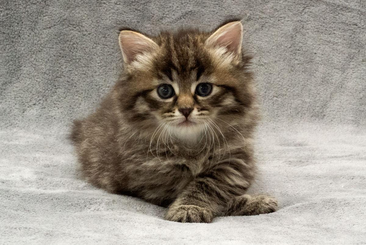 печалька котята сибирской кошки фото считается одним